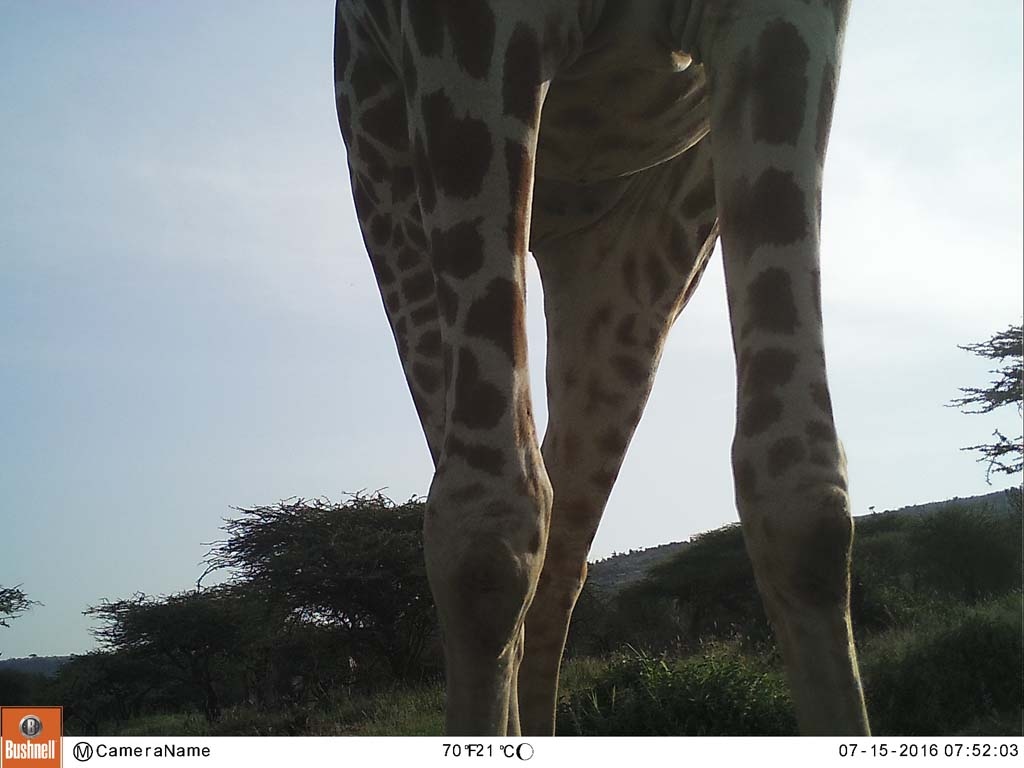 Is That A Very Young Giraffe Animal Hidden Under The Tree Zooniverse